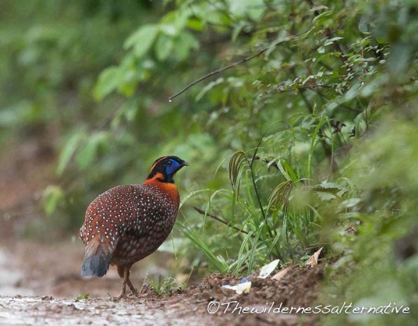 Temminck's Tragopan at Longcanggou
