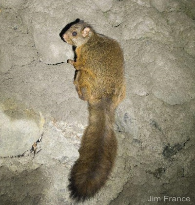 Chindwin Giant Flying Squirrel