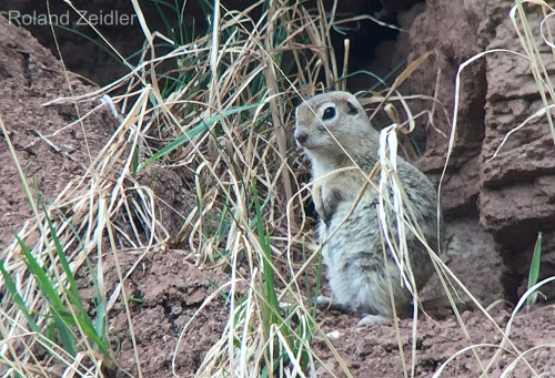Alashan Ground Squirrel
