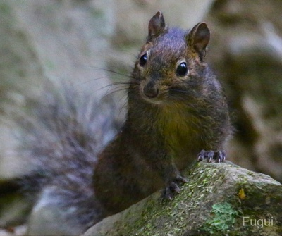 Pere David's Rock Squirrel