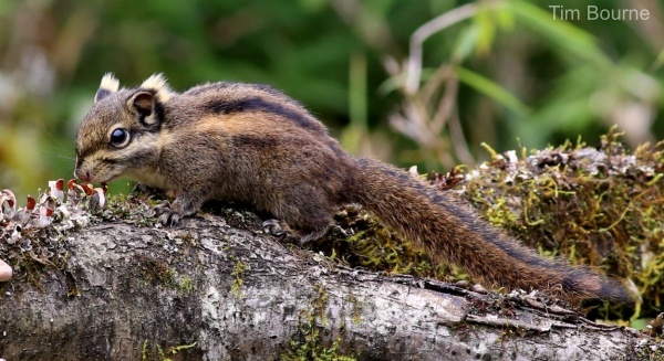 Swinhoe's Striped Squirrel