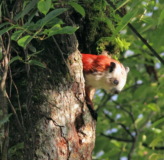 Red and White Giant Flying daytime Squirrel