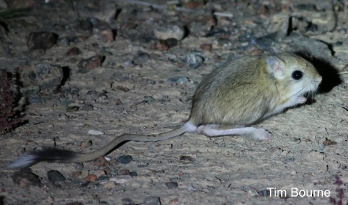 Northern Three-toed Jerboa